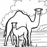 camel11