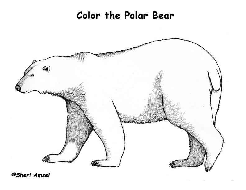 Раскраска белый медведь | Детские ...: razukraska.ru/animals/raskraska-belyj-medved.htm