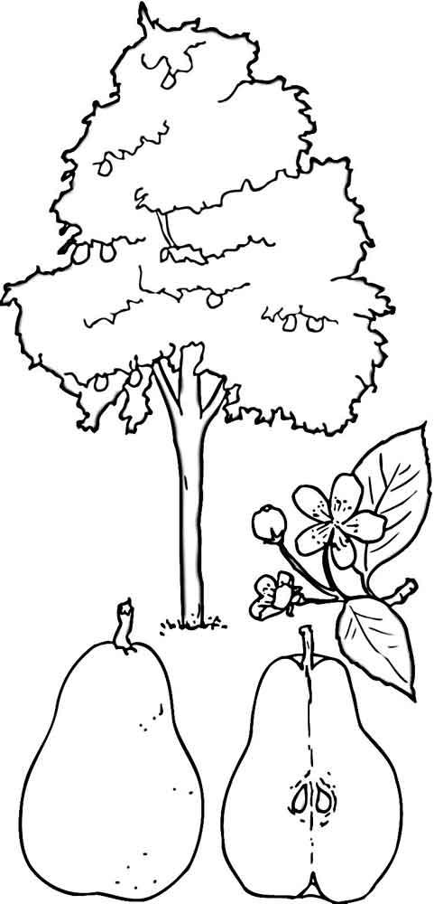 Раскраски фруктов дерева